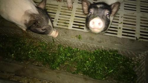 没有了国家补贴,大型养猪企业还能不能挣钱?