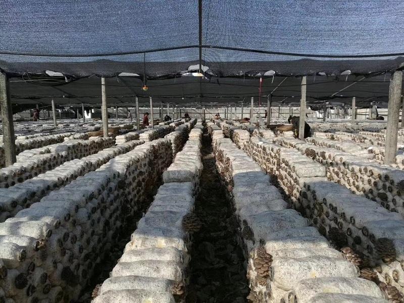羊肚菌专用万博APP手机版网页版